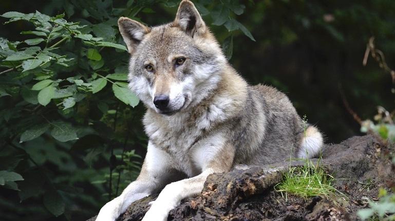 «Український вовк» – ворог окупанта