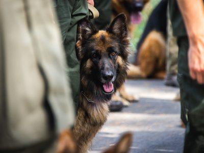 На параді на честь Дня Незалежності вперше в історії братимуть участь службові собаки